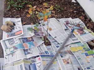 Мулчирование газетами кустарников