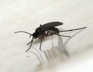Защита от луковой мухи