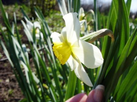 Нарцисс на солнышке