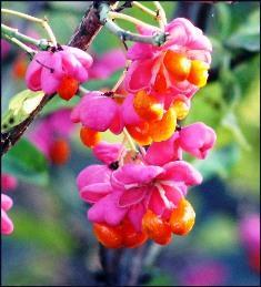 Берслекты цветы