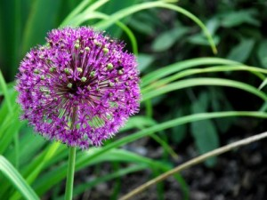 цветы луки, уход