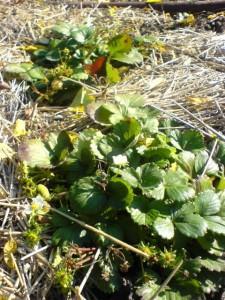 клубника осенью на огороде