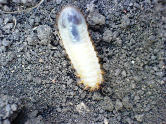 фотографии личинок майского жука на огороде