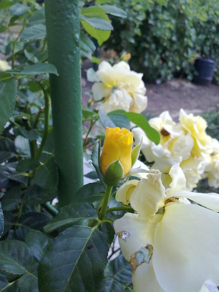 Желтая роза на даче цветет