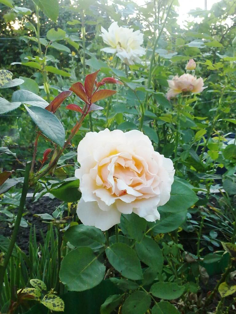 кремовая роза фото