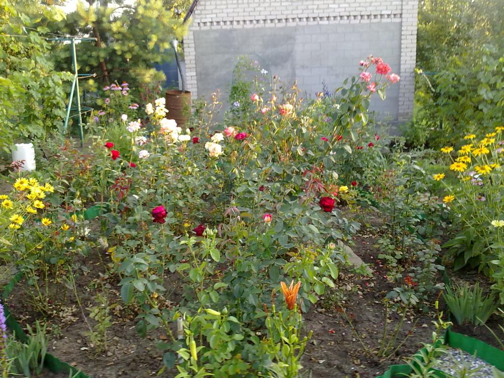 разные розы в саду фото