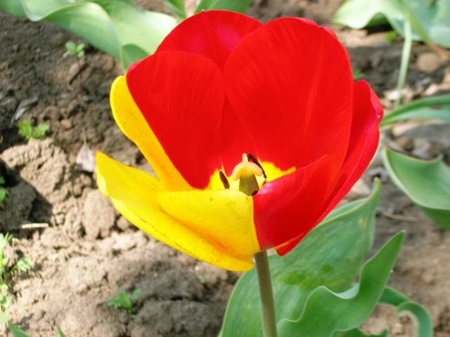 Двуцветный тюльпан
