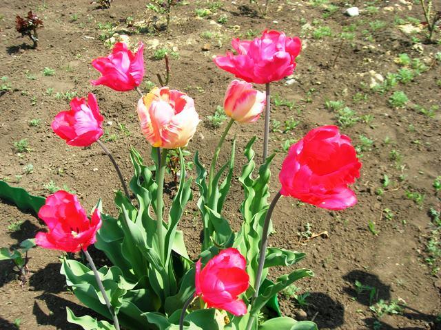 тюльпаны красивые