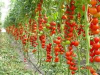 раннеспелый сорт томатов