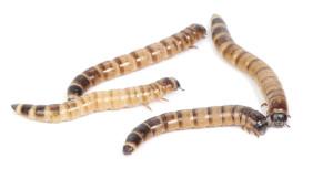 ложнопроволочник, личинки
