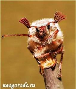 майский жук вредитель огорода