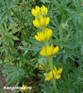 Люпин желтый - Lupinus luteus