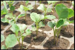 Рассадный способ выращивания брокколи.