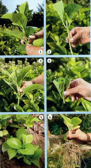 Выращивание гортензии крупнолистной из черенков 92