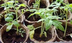 пожелтение листьев рассады томатов