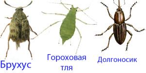 другие вредители гороха - долгоносик, брухус, гороховая тля