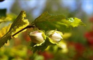 Выращивание лесного ореха в саду