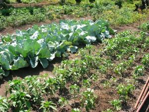 овощи на огороде для хранениея