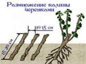 схема размножения калины черенками