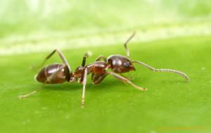 Мульчирование муровейниками