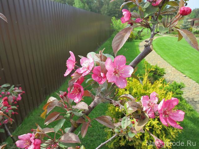 декоративные яблони для сада и ландшафтного дизайна