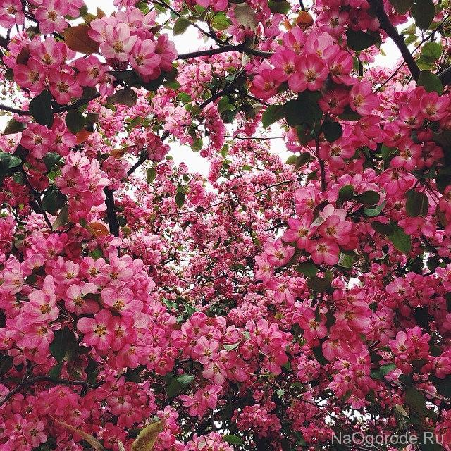 цветение декоративной яблони фото