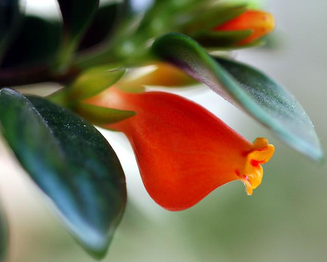 гипоцирта выращивание и уход фото