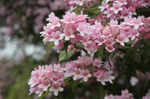 когда цветет кольквиция прелестная