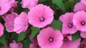 Лаватер - садовый цветок
