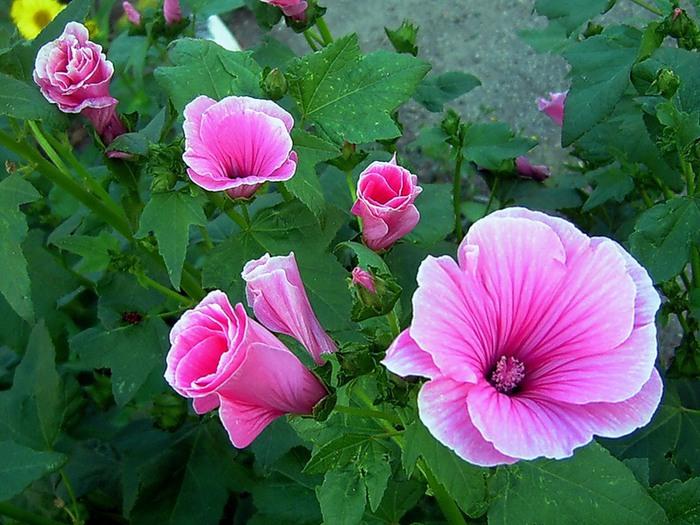 цветок лаватера фото: