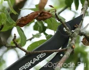 уход за декоративными яблонями - обрезка