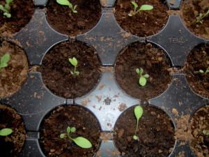 выращивание рассады рудбекии