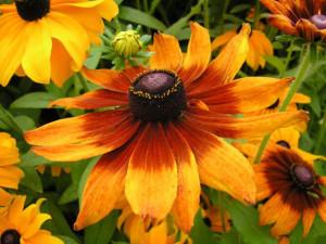 цветок рудбекия фото