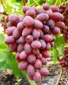 особенности винограда Сенсация фото