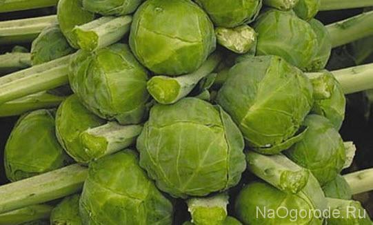 фотография сорта брюссельской капусты Командор