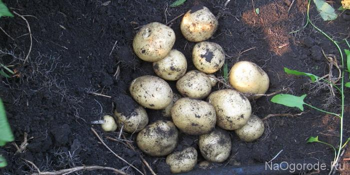 Картофель выращенный по технологии - из семян.