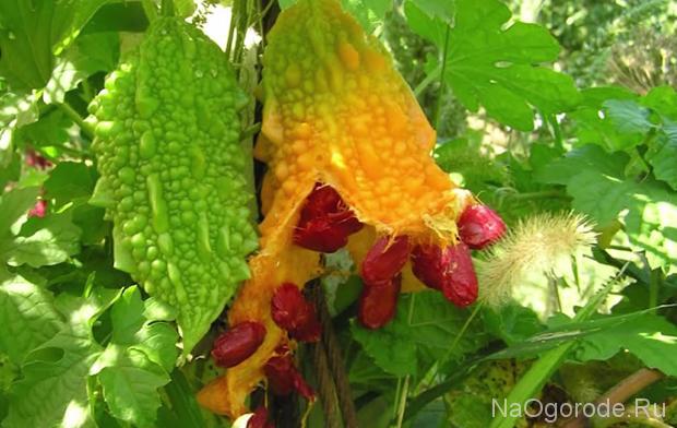 фотография растения момордика
