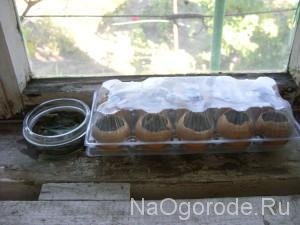 парник для семян в яичной скорлупе