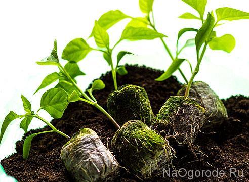 хорошие условия для выращивания рассады перца в торфяных горшочках