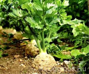Описание и выращивание растения пастернак