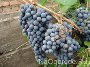 Сорт винограда Память Домбковской