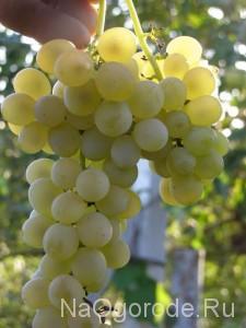 Фото и описание сорта Винограда Кристалл