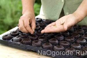 выращивание перца в торфяных таблетках