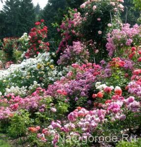 клумба роз