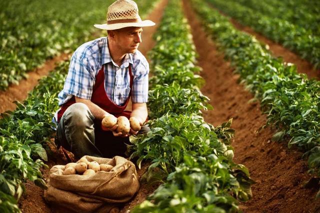 как выращивают голландский картофель