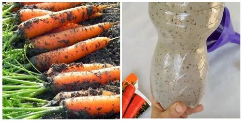 особенности жидкого посева моркови в открытый грунт