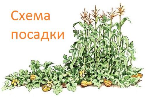схема посадки кукурузы, тыквы и фасоли в одну лунку