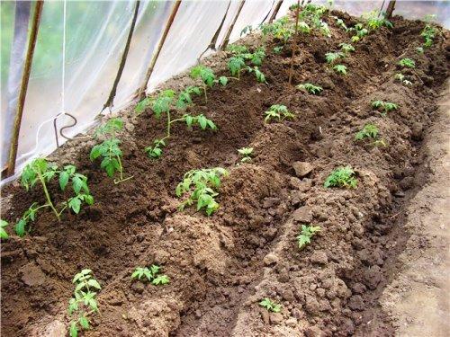 томаты посажены в борозду