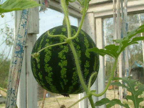 а можно вырастить арбуз на крыше дома?