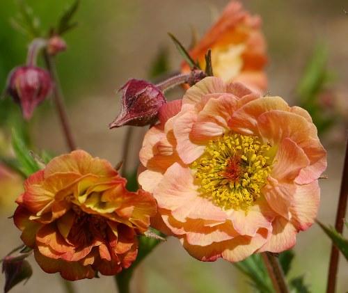 цветущее растение гравилат